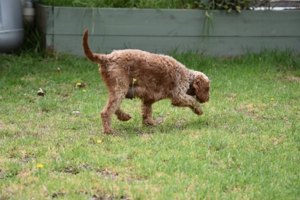 Gracie-Cavoodle-Banksia Park Puppies - 12 of 33