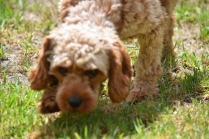 Gracie-Cavoodle-Banksia Park Puppies - 13 of 33