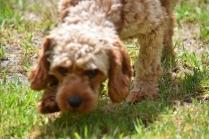 Gracie-Cavoodle-Banksia Park Puppies - 13 of 33