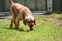 Gracie-Cavoodle-Banksia Park Puppies - 17 of 33