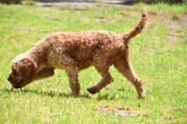 Gracie-Cavoodle-Banksia Park Puppies - 18 of 33
