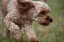 Gracie-Cavoodle-Banksia Park Puppies - 2 of 33