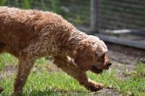 Gracie-Cavoodle-Banksia Park Puppies - 21 of 33
