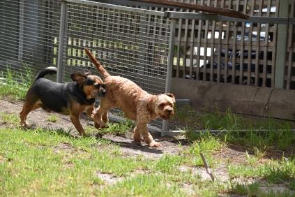 Gracie-Cavoodle-Banksia Park Puppies - 23 of 33
