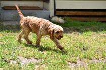 Gracie-Cavoodle-Banksia Park Puppies - 27 of 33
