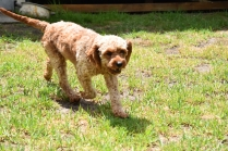 Gracie-Cavoodle-Banksia Park Puppies - 28 of 33