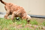 Gracie-Cavoodle-Banksia Park Puppies - 29 of 33