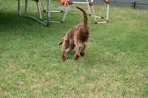 Gracie-Cavoodle-Banksia Park Puppies - 3 of 33