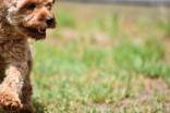 Gracie-Cavoodle-Banksia Park Puppies - 31 of 33