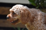 Gracie-Cavoodle-Banksia Park Puppies - 33 of 33