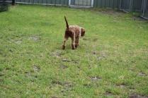 Gracie-Cavoodle-Banksia Park Puppies - 5 of 33