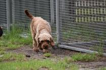 Gracie-Cavoodle-Banksia Park Puppies - 6 of 33