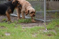 Gracie-Cavoodle-Banksia Park Puppies - 7 of 33