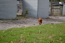 Heaven-Cavoodle-Banksia Park Puppies - 1 of 22