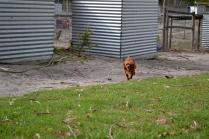 Heaven-Cavoodle-Banksia Park Puppies - 1 of 22