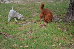 Heaven-Cavoodle-Banksia Park Puppies - 10 of 22
