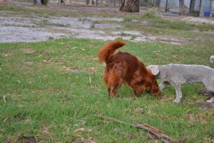 Heaven-Cavoodle-Banksia Park Puppies - 12 of 22