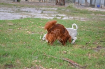 Heaven-Cavoodle-Banksia Park Puppies - 13 of 22