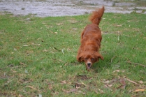 Heaven-Cavoodle-Banksia Park Puppies - 14 of 22