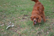 Heaven-Cavoodle-Banksia Park Puppies - 15 of 22