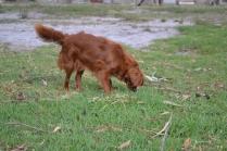 Heaven-Cavoodle-Banksia Park Puppies - 16 of 22