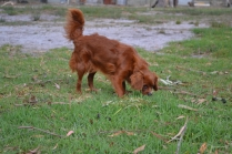 Heaven-Cavoodle-Banksia Park Puppies - 17 of 22