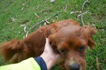 Heaven-Cavoodle-Banksia Park Puppies - 19 of 22