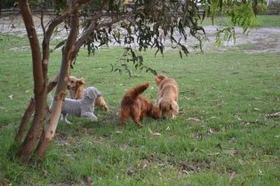 Heaven-Cavoodle-Banksia Park Puppies - 21 of 22