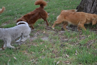 Heaven-Cavoodle-Banksia Park Puppies - 22 of 22
