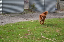 Heaven-Cavoodle-Banksia Park Puppies - 3 of 22