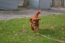 Heaven-Cavoodle-Banksia Park Puppies - 4 of 22