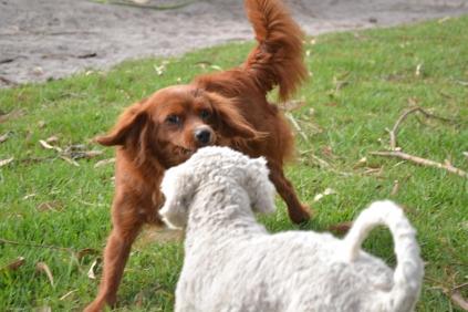 Heaven-Cavoodle-Banksia Park Puppies - 5 of 22