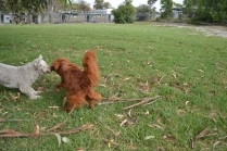 Heaven-Cavoodle-Banksia Park Puppies - 6 of 22