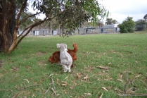 Heaven-Cavoodle-Banksia Park Puppies - 7 of 22