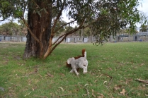 Heaven-Cavoodle-Banksia Park Puppies - 8 of 22
