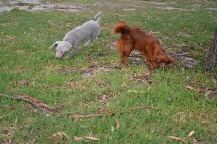 Heaven-Cavoodle-Banksia Park Puppies - 9 of 22