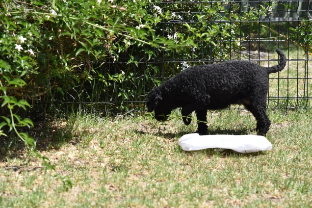 Minya-Poodle-Banksia Park Puppies - 1 of 26