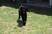 Minya-Poodle-Banksia Park Puppies - 10 of 26