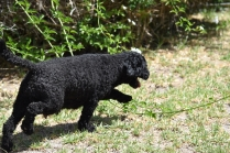 Minya-Poodle-Banksia Park Puppies - 11 of 26