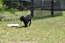 Minya-Poodle-Banksia Park Puppies - 12 of 26