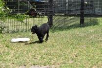 Minya-Poodle-Banksia Park Puppies - 12 of 26