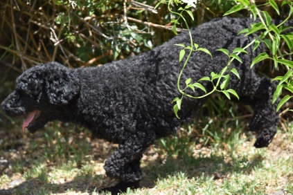 Minya-Poodle-Banksia Park Puppies - 13 of 26