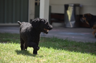 Minya-Poodle-Banksia Park Puppies - 15 of 26