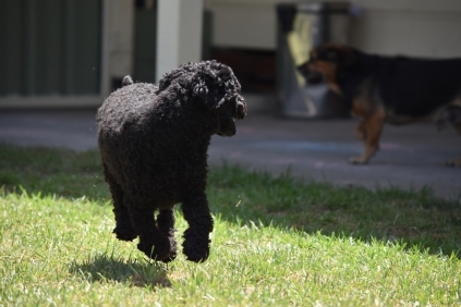 Minya-Poodle-Banksia Park Puppies - 16 of 26