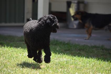Minya-Poodle-Banksia Park Puppies - 16 of 26