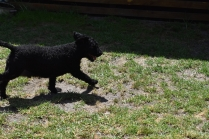 Minya-Poodle-Banksia Park Puppies - 17 of 26