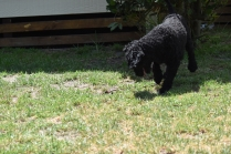 Minya-Poodle-Banksia Park Puppies - 18 of 26