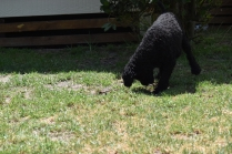 Minya-Poodle-Banksia Park Puppies - 19 of 26