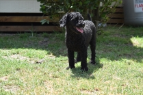 Minya-Poodle-Banksia Park Puppies - 20 of 26