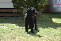 Minya-Poodle-Banksia Park Puppies - 21 of 26